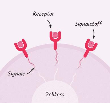 Aufbau und Funktion von Rezeptoren
