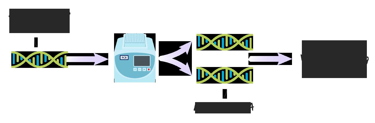 PCR (Polymerase-Kettenreaktion)