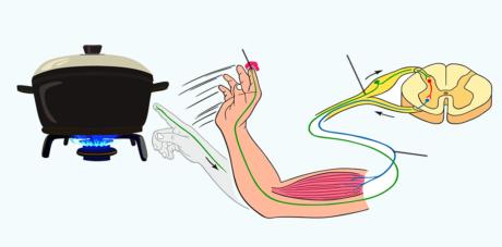 Sensible und motorischen Nerven
